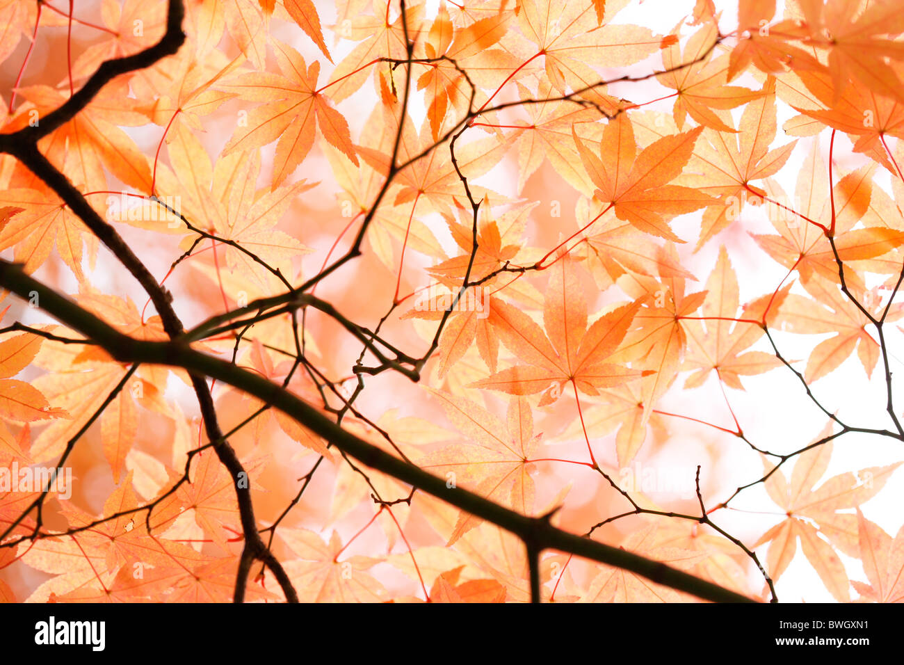 beautiful maple canopy in autumn just before the fall - fine art photography  Jane-Ann Butler Photography JABP948 - Stock Image
