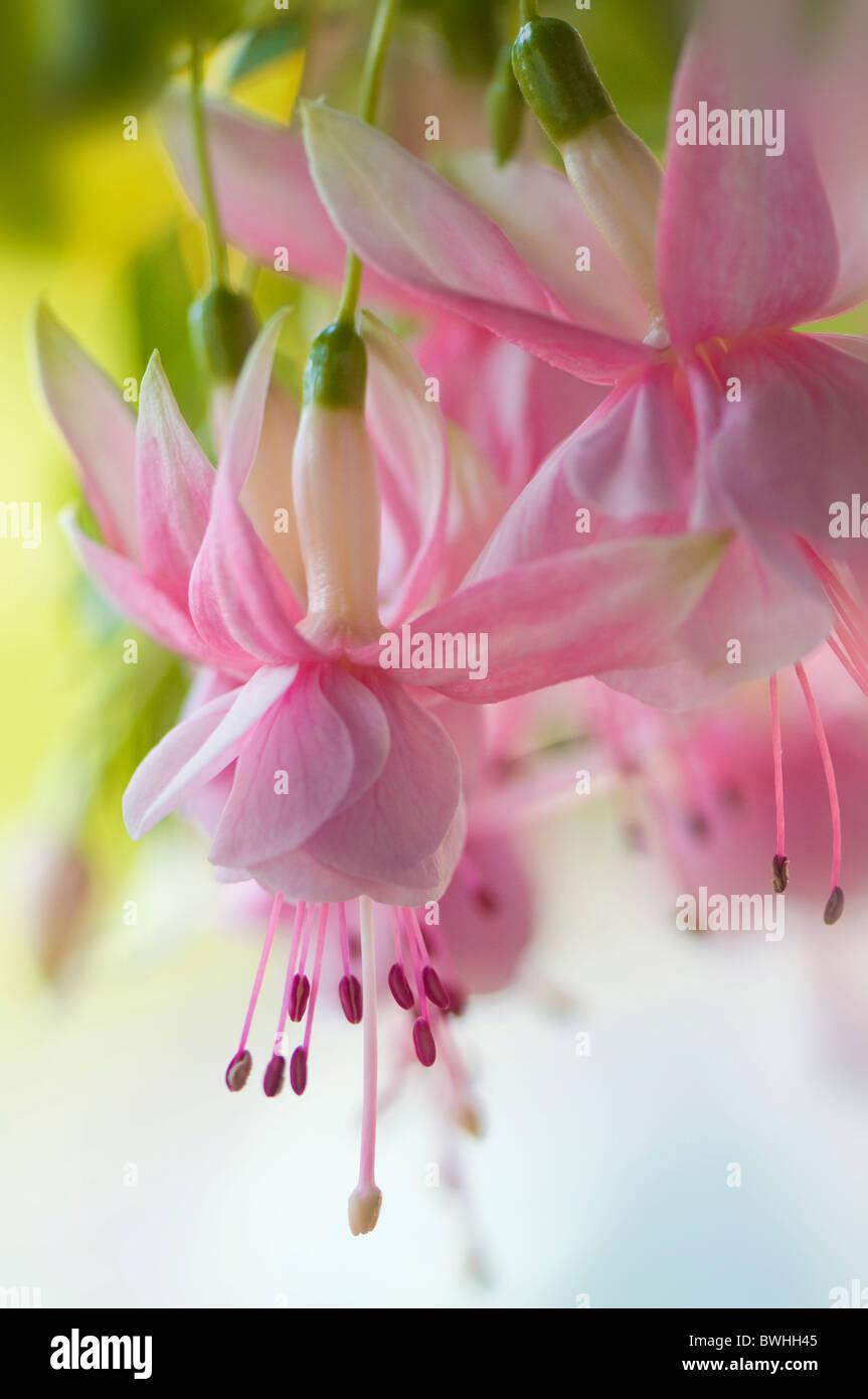 Soft pink fuchsia flowers stock photo 32963397 alamy soft pink fuchsia flowers mightylinksfo