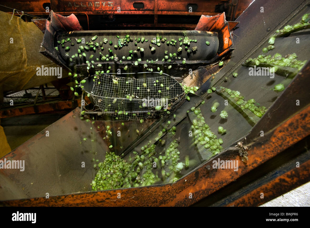 Production of hops (Humulus lupulus), Poperinge, Belgium - Stock Image
