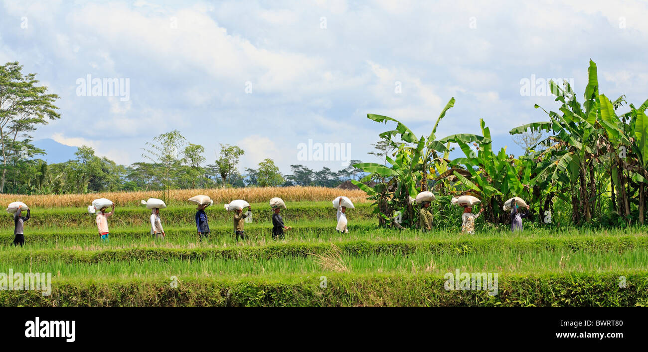 workers-leaving-the-rice-paddies-with-bags-of-harvested-grain-on-their-BWRT80.jpg