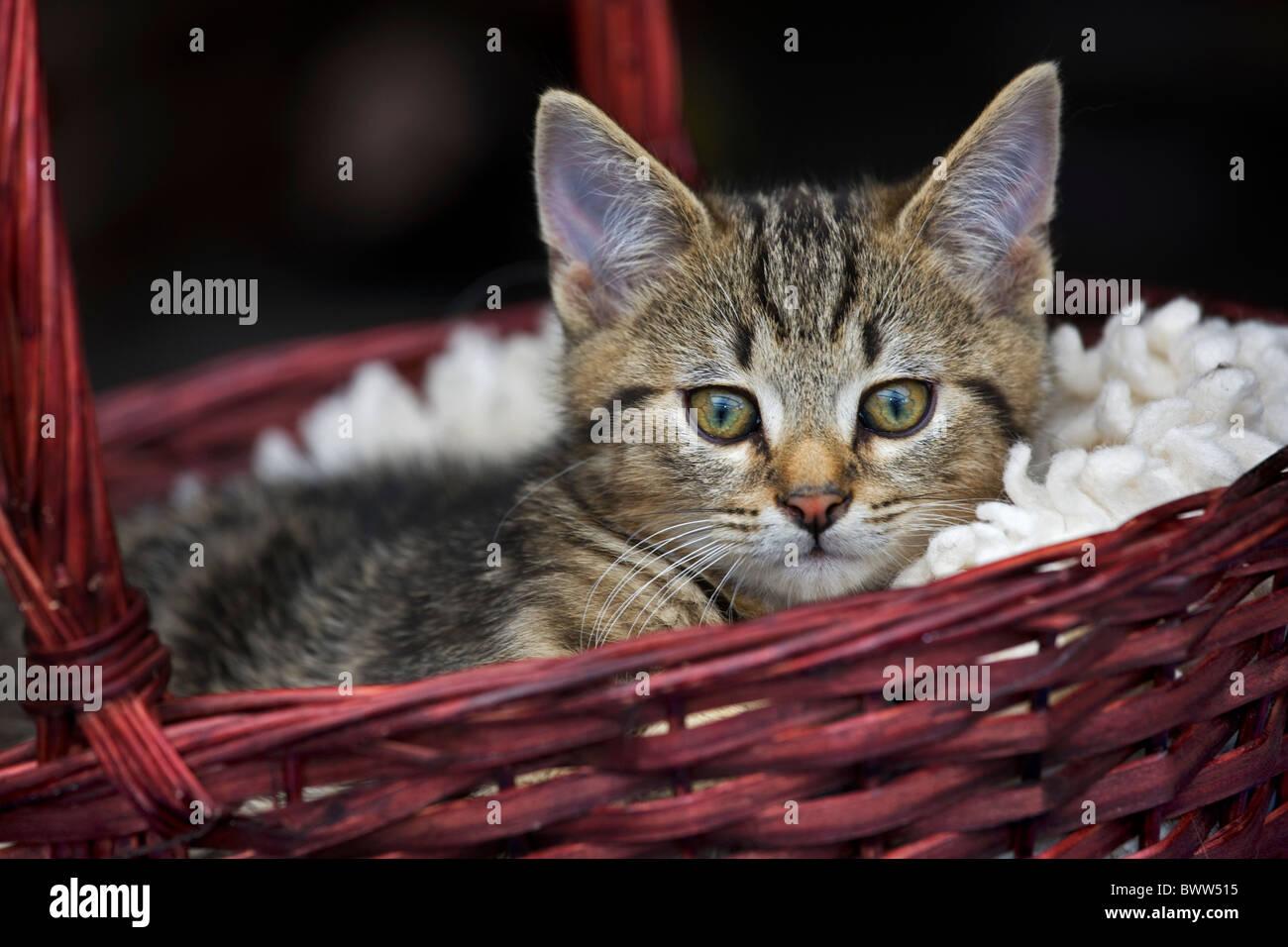 Domestic cat (Felis catus) resting in red basket - Stock Image