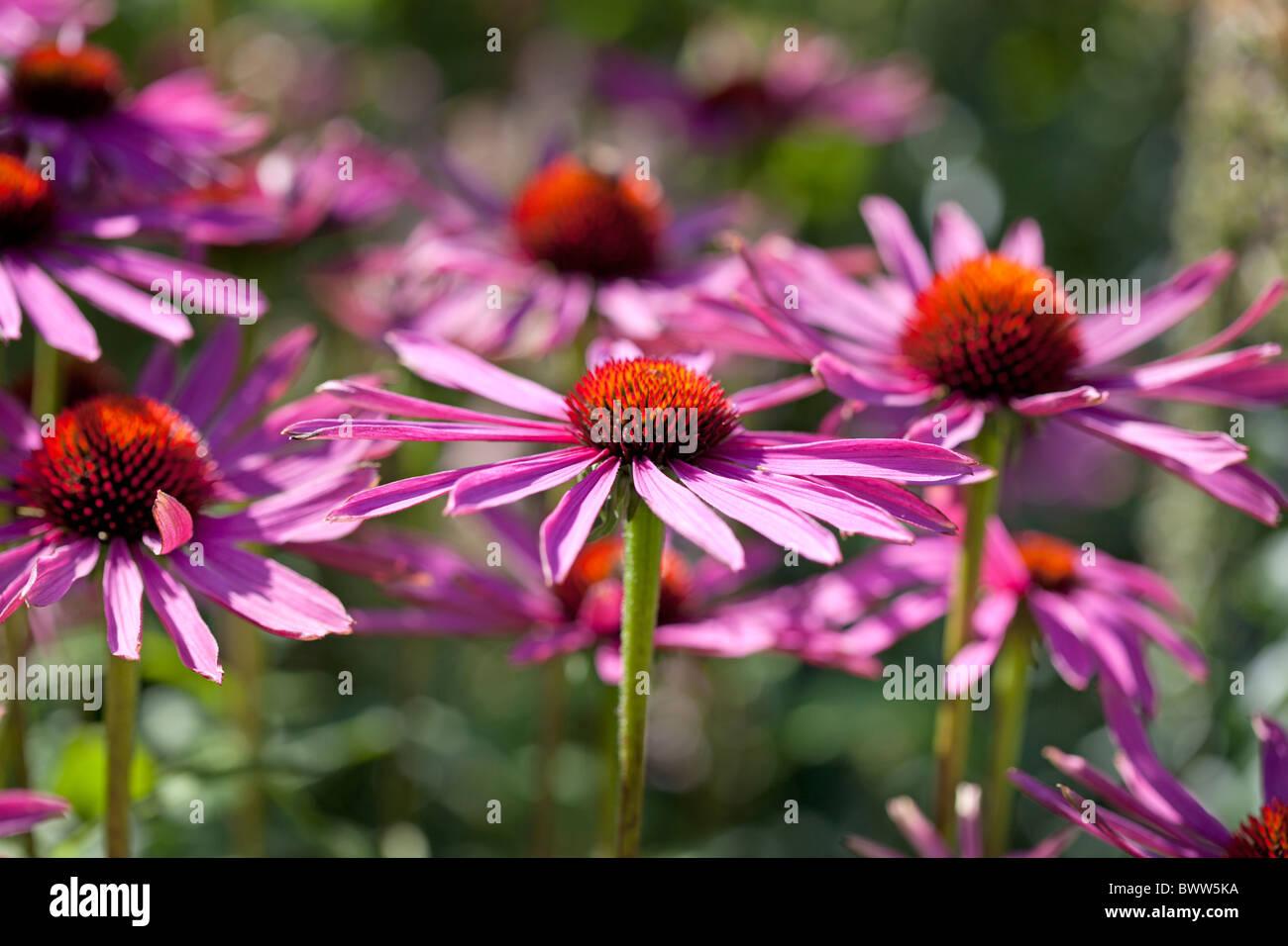 Echinacea Purpurea Rubinstern - Stock Image