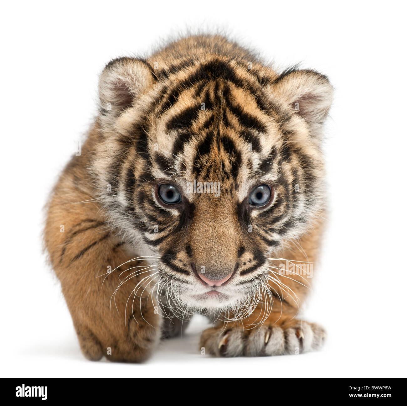 Sumatran Tiger cub, Panthera tigris sumatrae, 3 weeks old, in front of white background - Stock Image