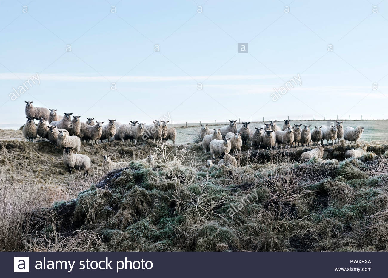 Line of sheep amongst frosted grass - Stock Image