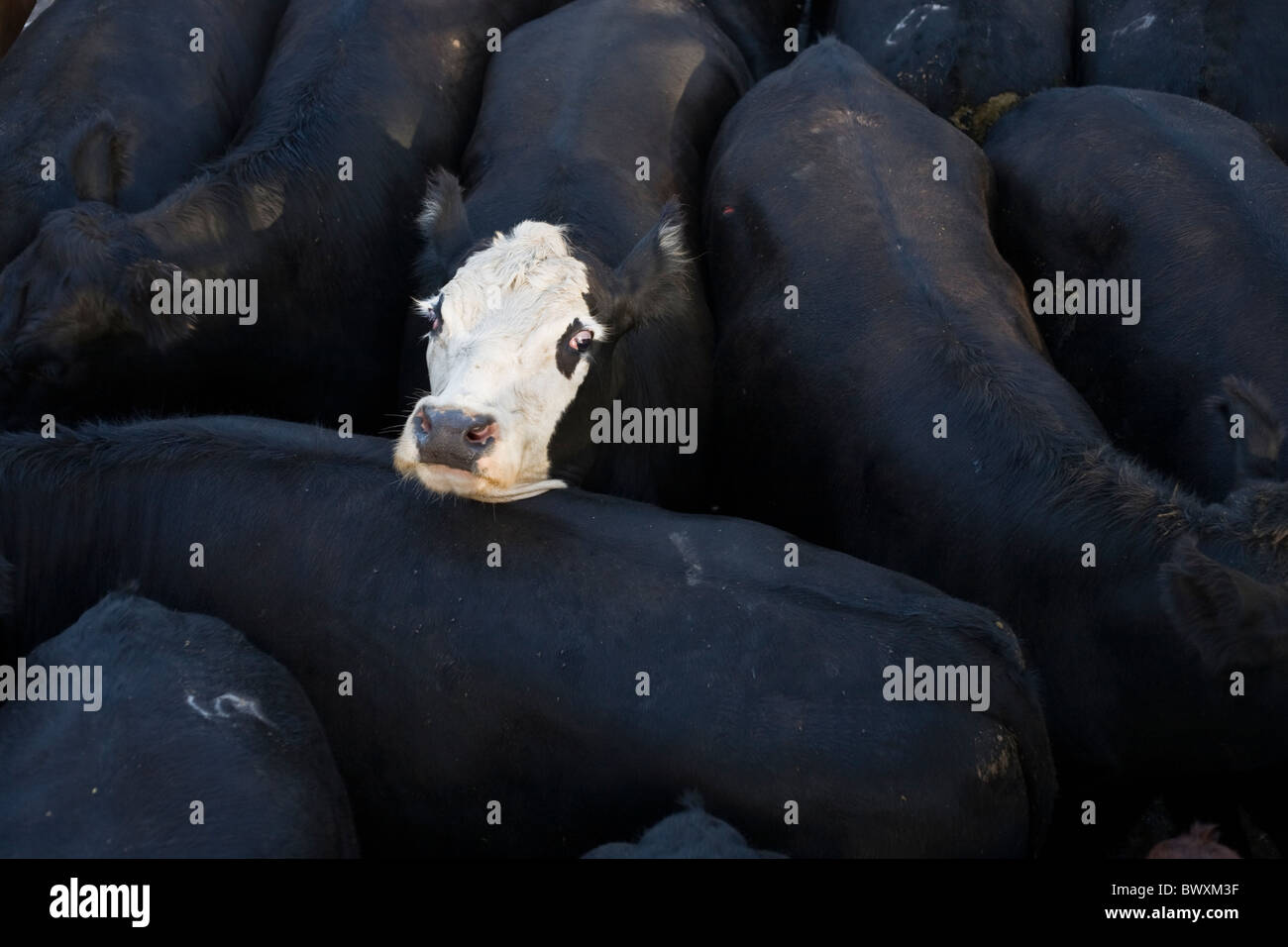 white cow face among black cow bodies - Stock Image
