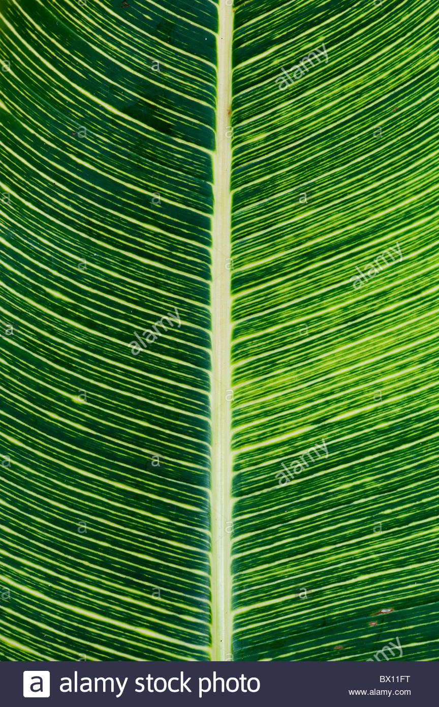 Canna lily leaf pattern. India - Stock Image