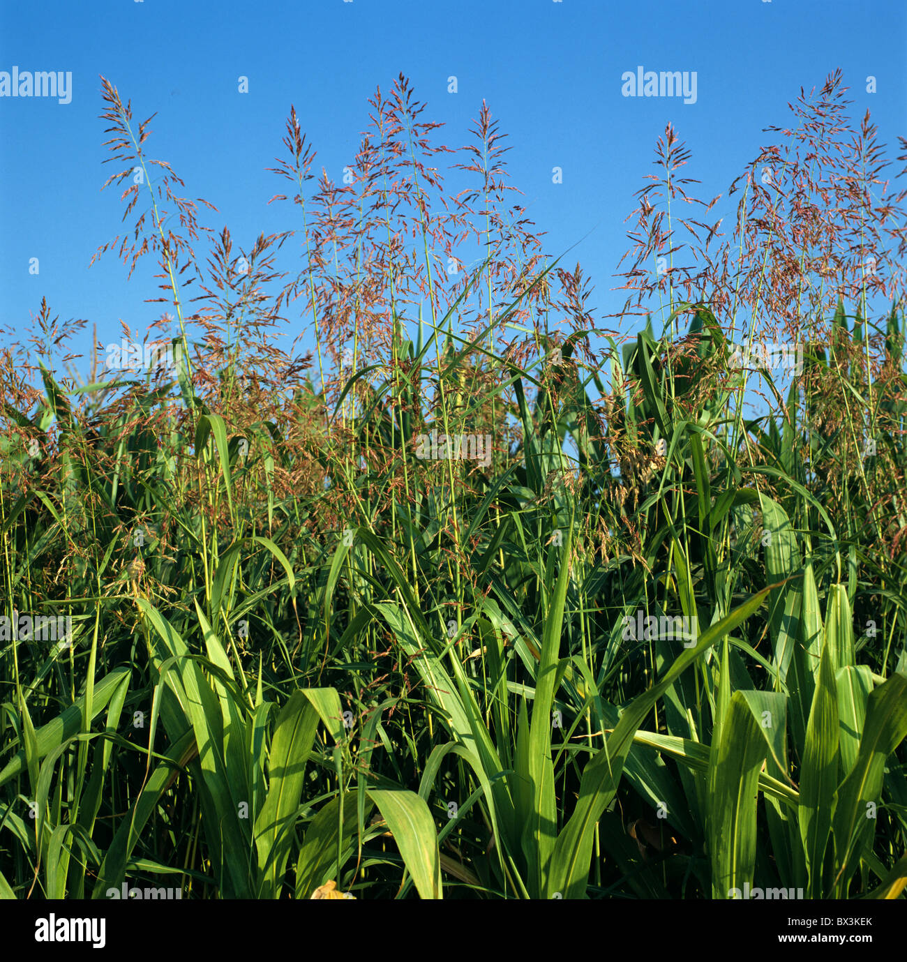 Johnson grass (Sorghum halepense) flowering in a mature maize crop, Italy - Stock Image