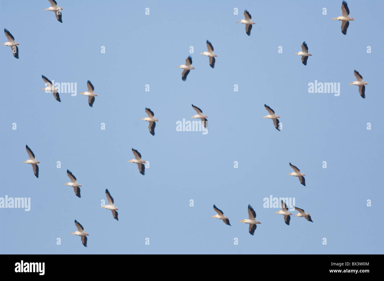 Great White Pelicans Pelecanus onocrotalus Kruger National Park South Africa - Stock Image