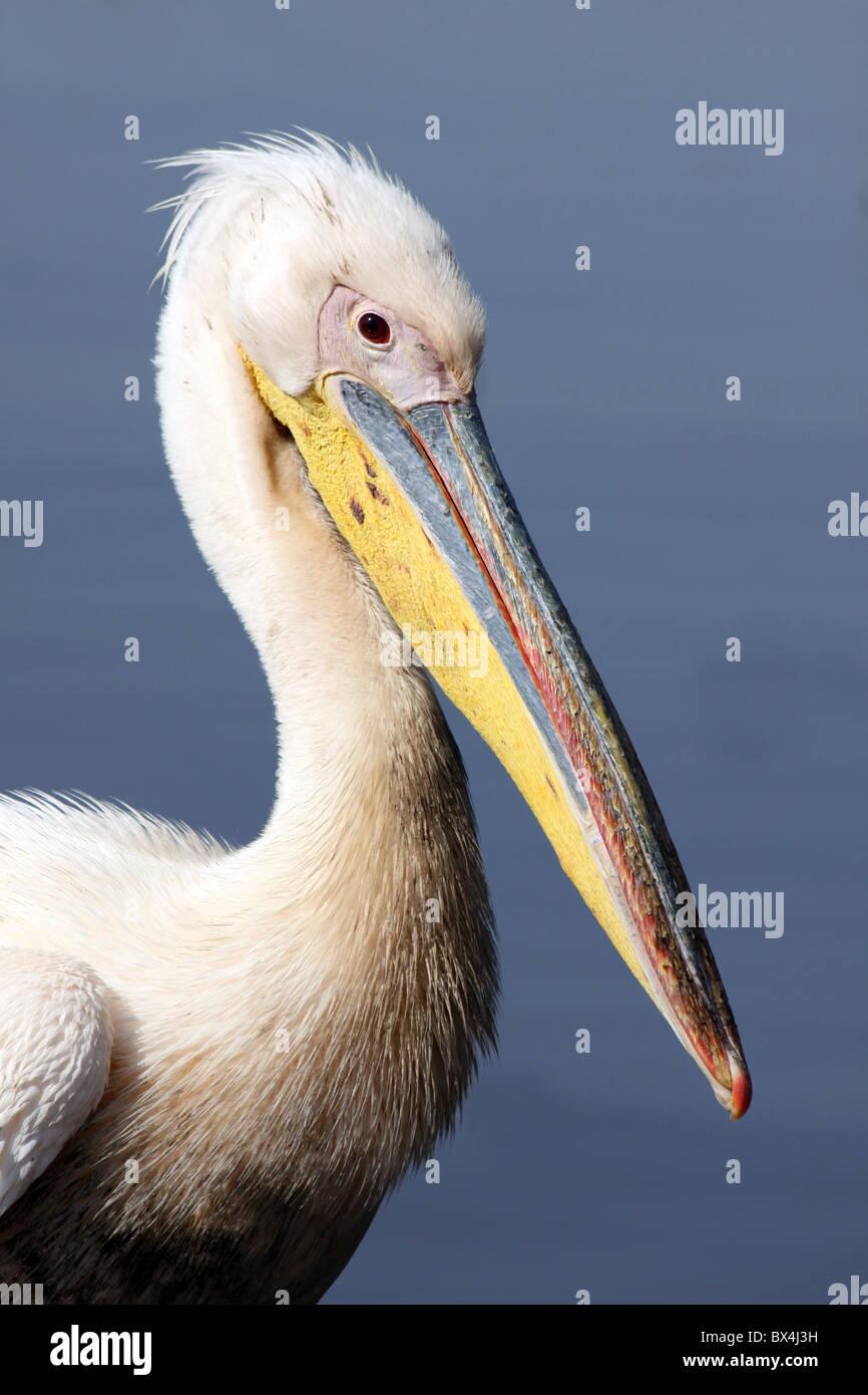 Great White Pelican Pelecanus onocrotalus Taken At Lake Awasa Ethiopia - Stock Image