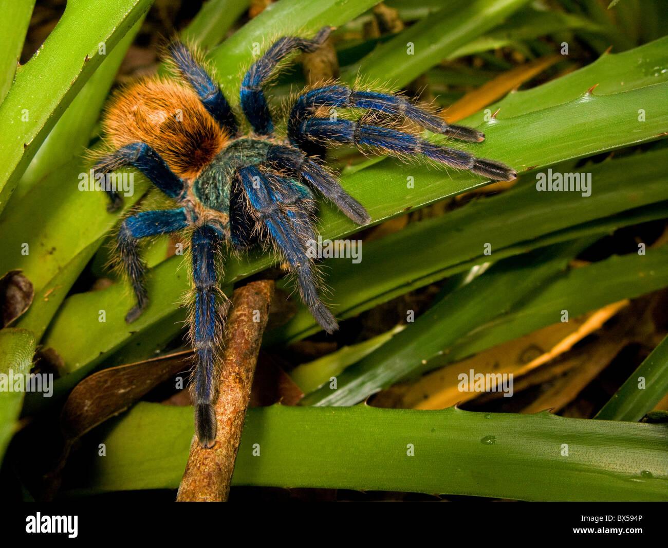 Blue tarantula spider from venezuela (Chromatopelma cyaneopubescens) Stock Photo