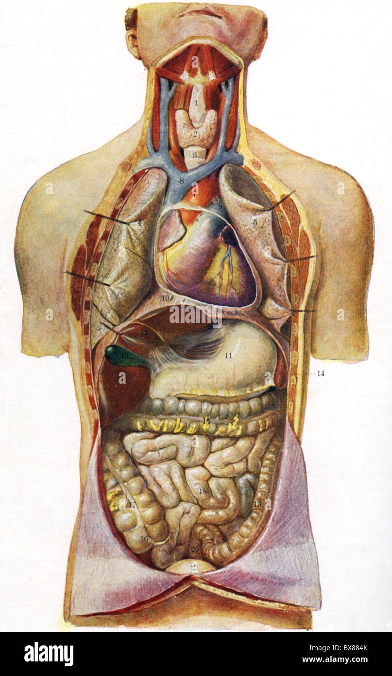 medicine, anatomy, human chest caity and abdominal cavity, chart ...