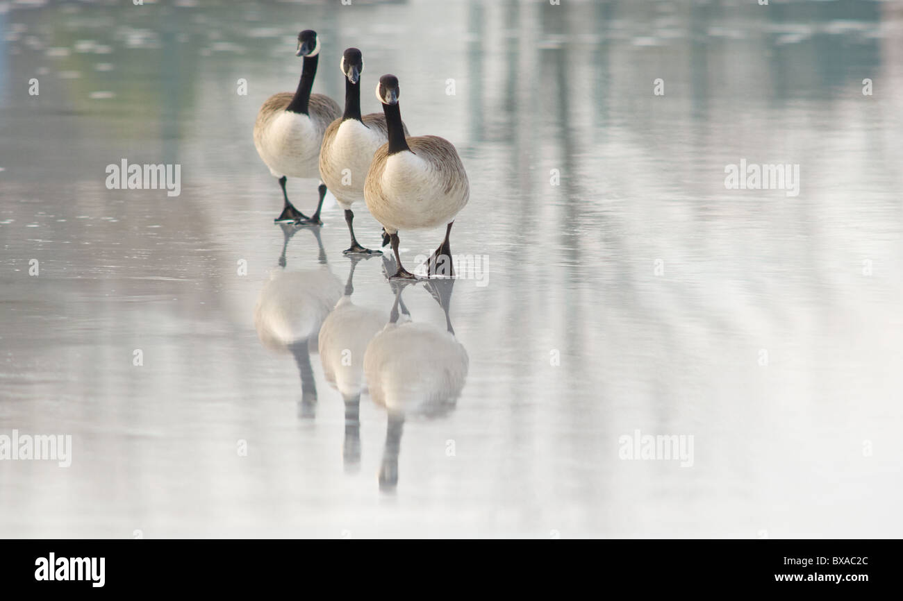 adult-canada-geese-standing-or-walking-o