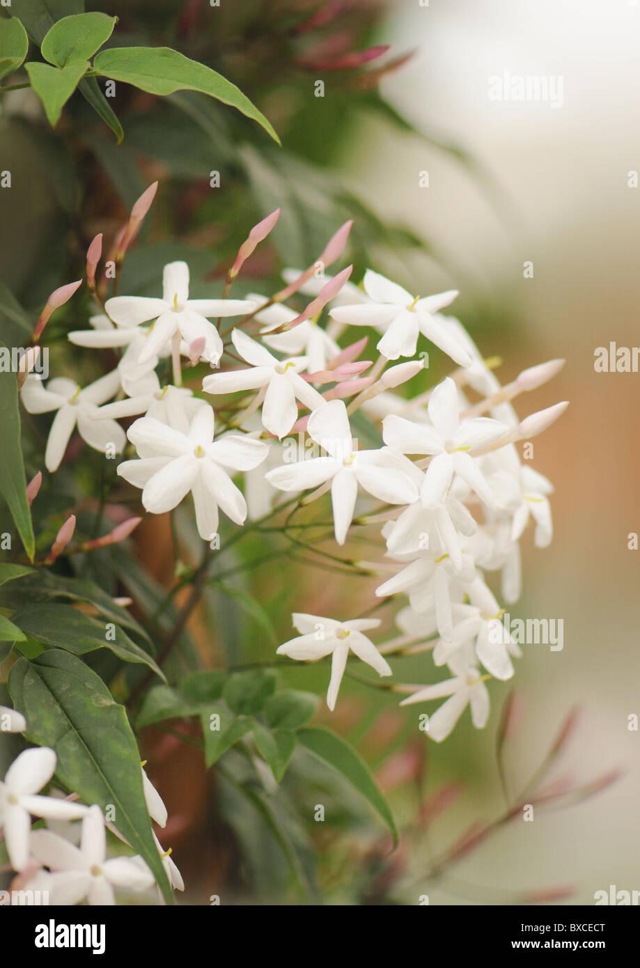 The Delicate White Flowers Of Jasminum Polyanthum Pink Jasmine