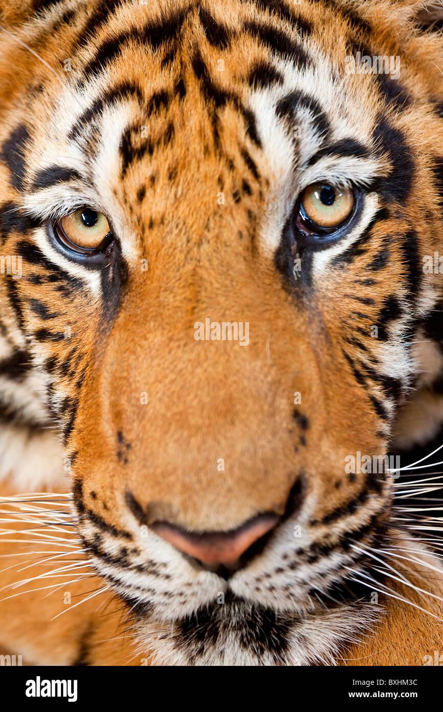Portrait, Indochinese tiger or Corbett's tiger (Panthera tigris corbetti), Thailand - Stock Image