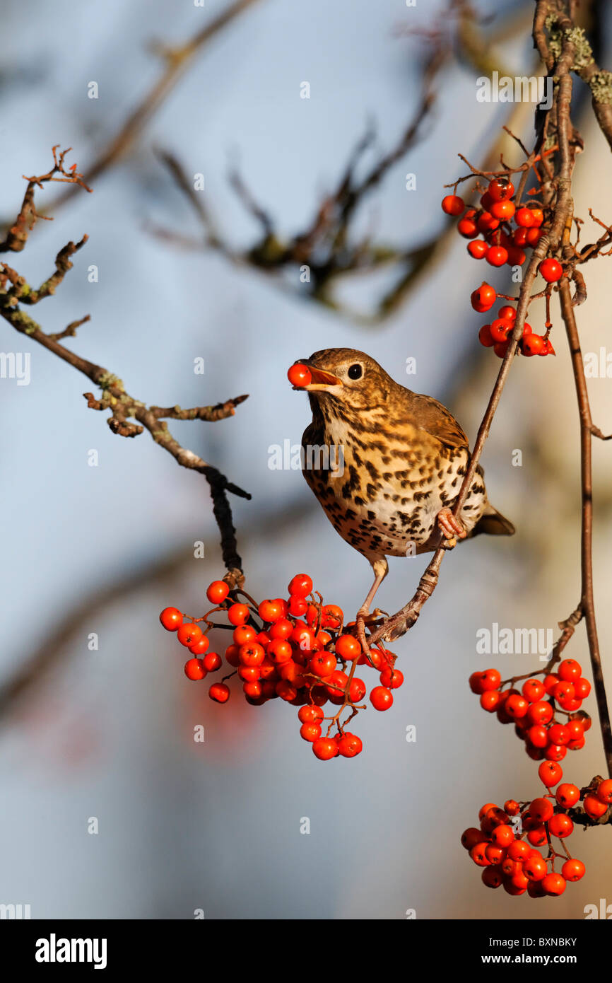 Song thrush, Turdus philomelos, single bird feeding on rowan berries, Midlands, December 2010 Stock Photo