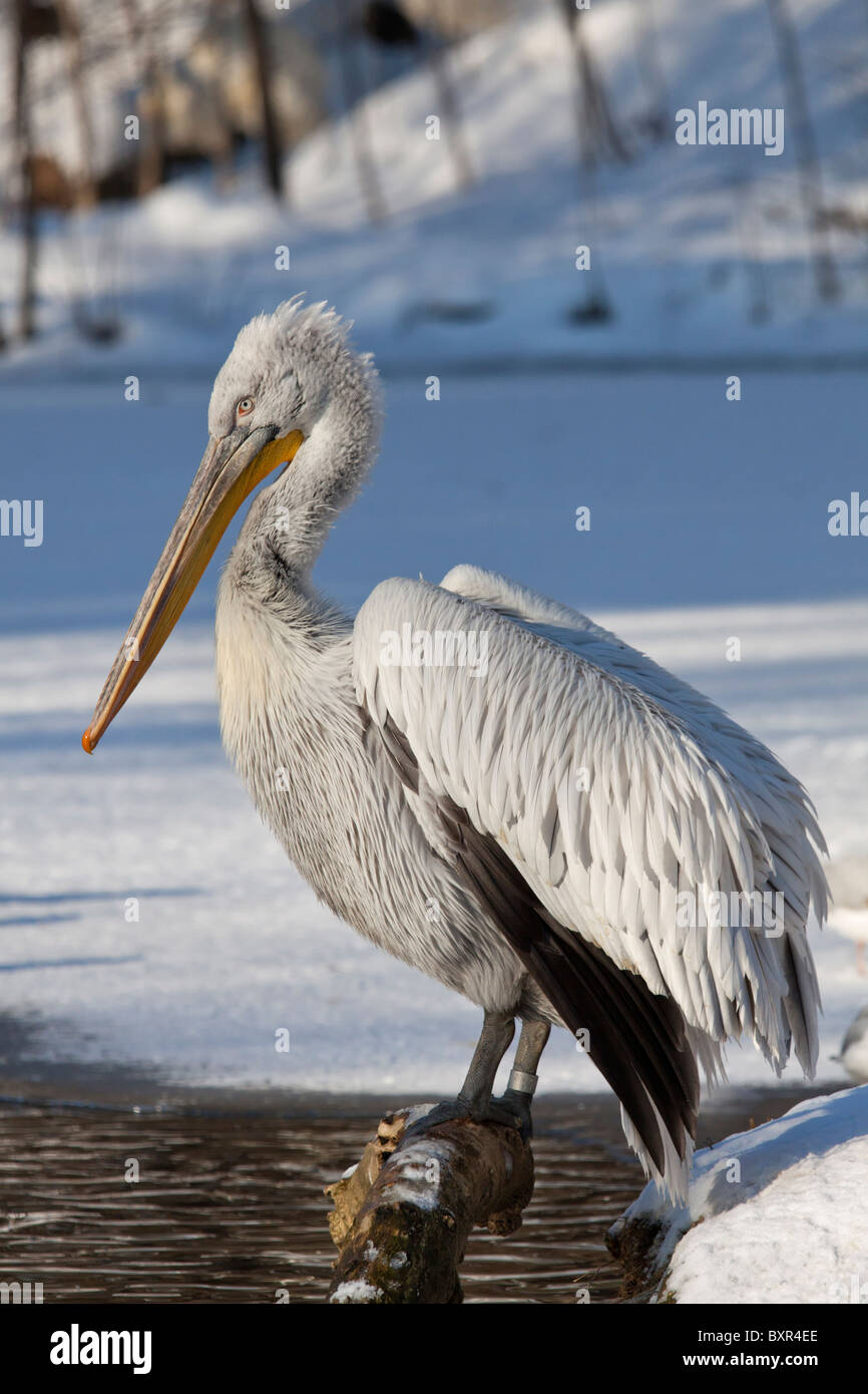 Great White Pelican (Pelecanus onocrotalus) - Stock Image