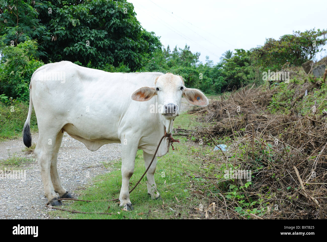 Cow along a road in the Caribbean. - Stock Image