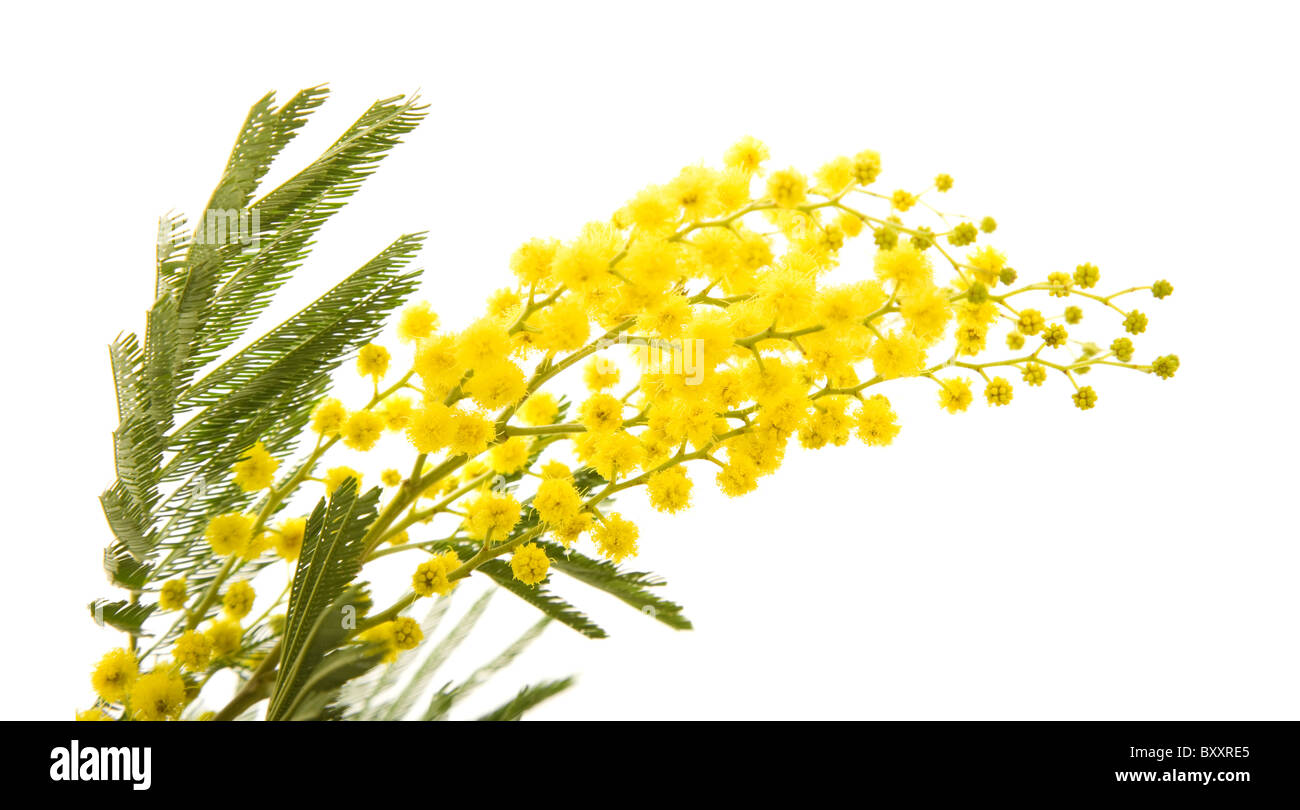 Small branch of mimosa plant with round fluffy yellow flowers stock small branch of mimosa plant with round fluffy yellow flowers mightylinksfo