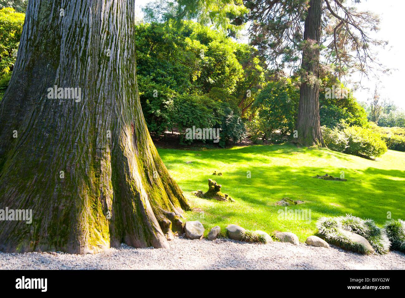 Taxodium Distichum taxodiaceae tree - Stock Image