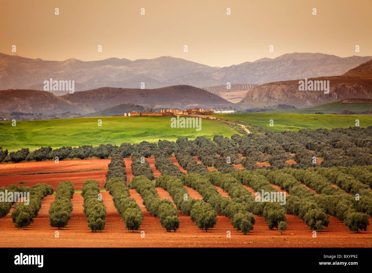 Campo de olivos Laguna Fuente de Piedra Málaga Andalucia España Olive grove Andalusia Spain - Stock Image