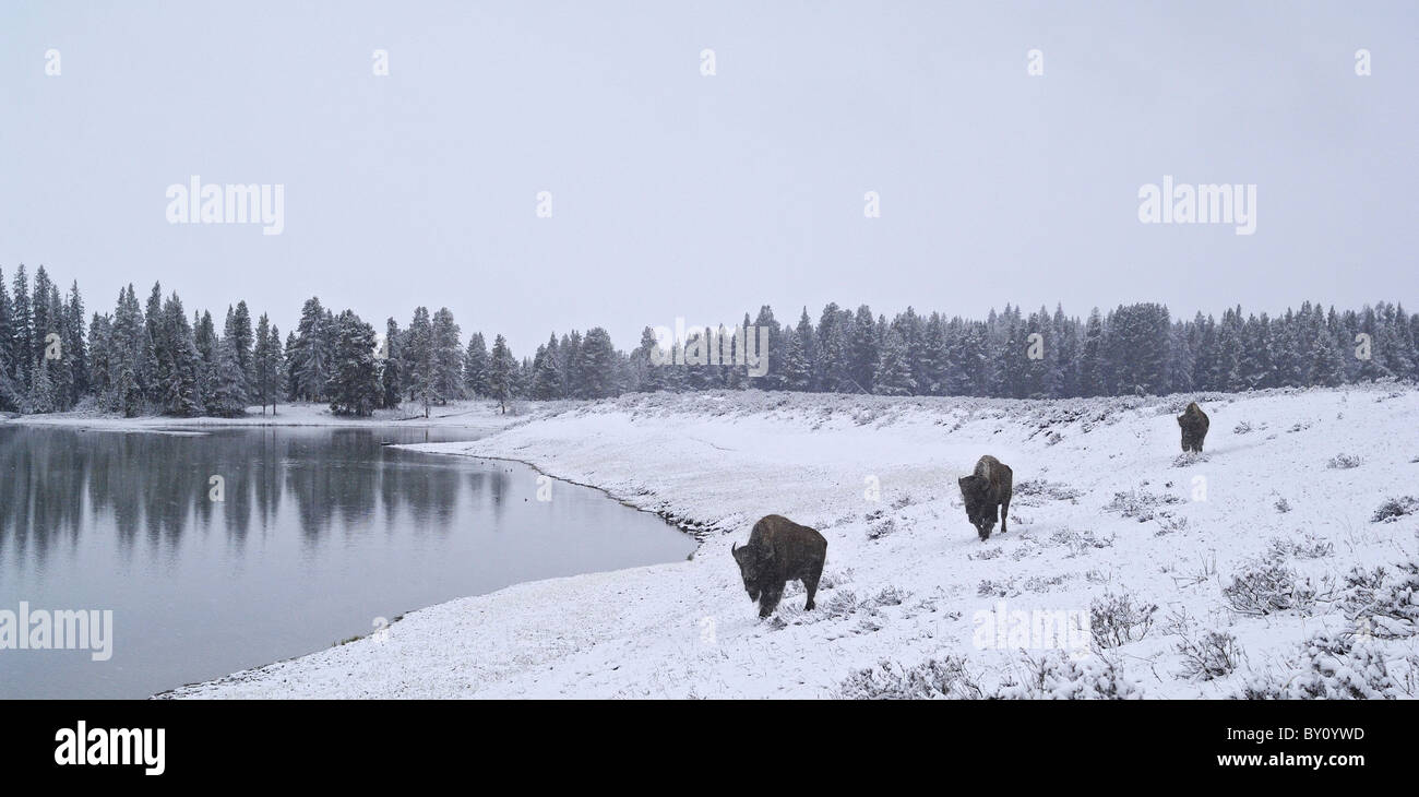 American Bison traveling along a wintry lakeshore in Yellowstone National Park. - Stock Image