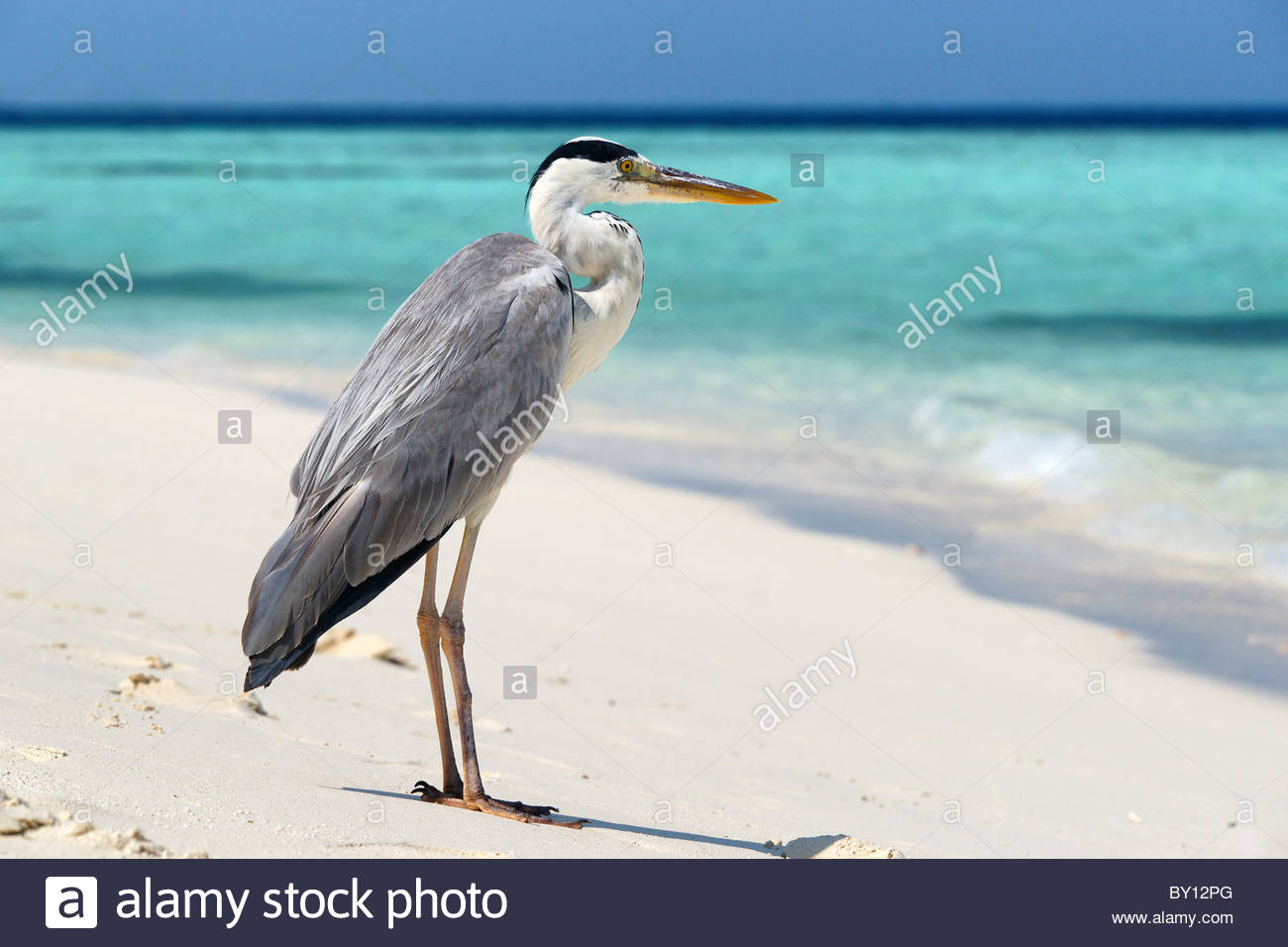 maldives-grey-heron-ardea-cinerea-on-the