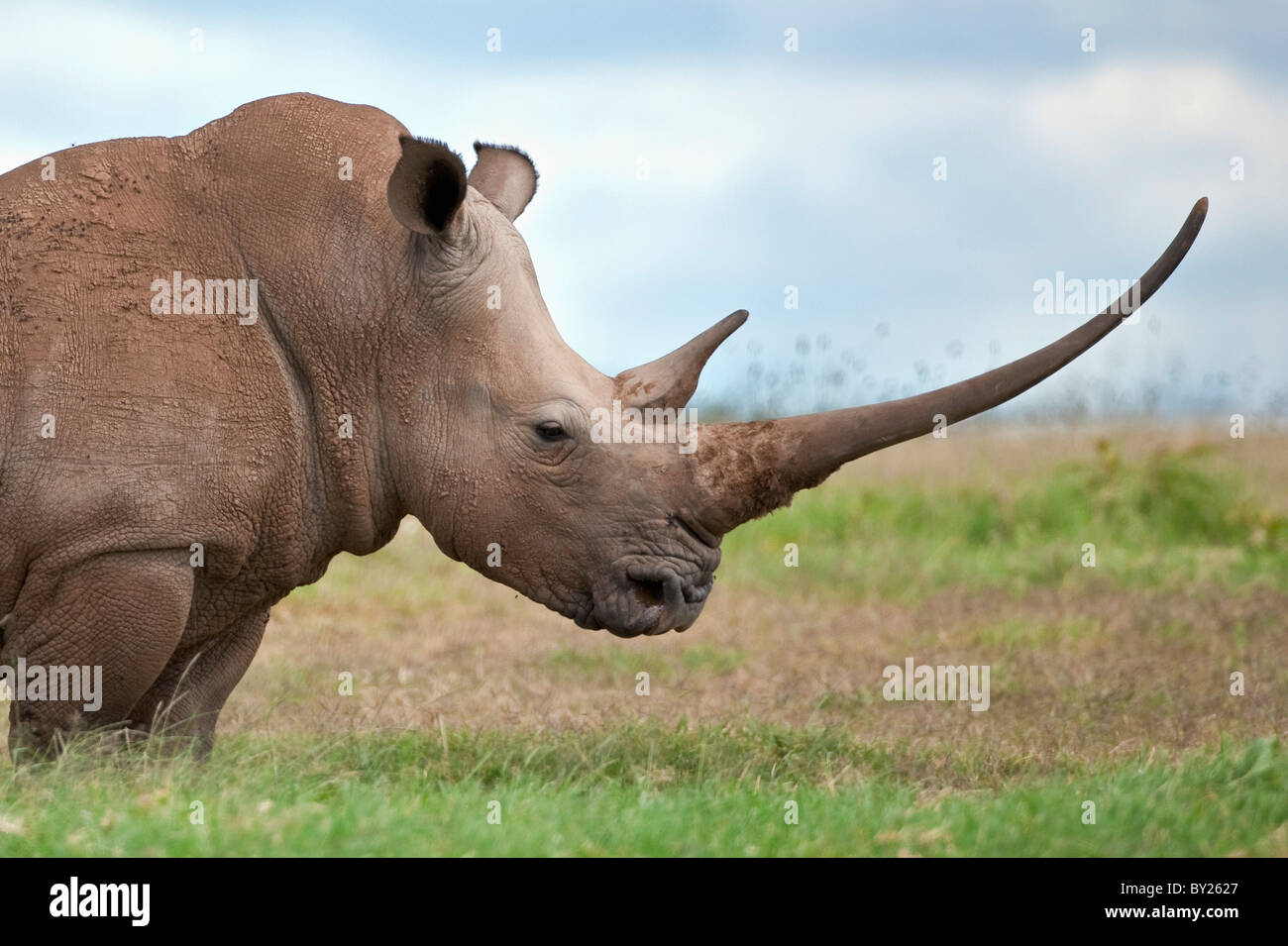 A white rhino with a very long horn. Mweiga, Solio, Kenya - Stock Image