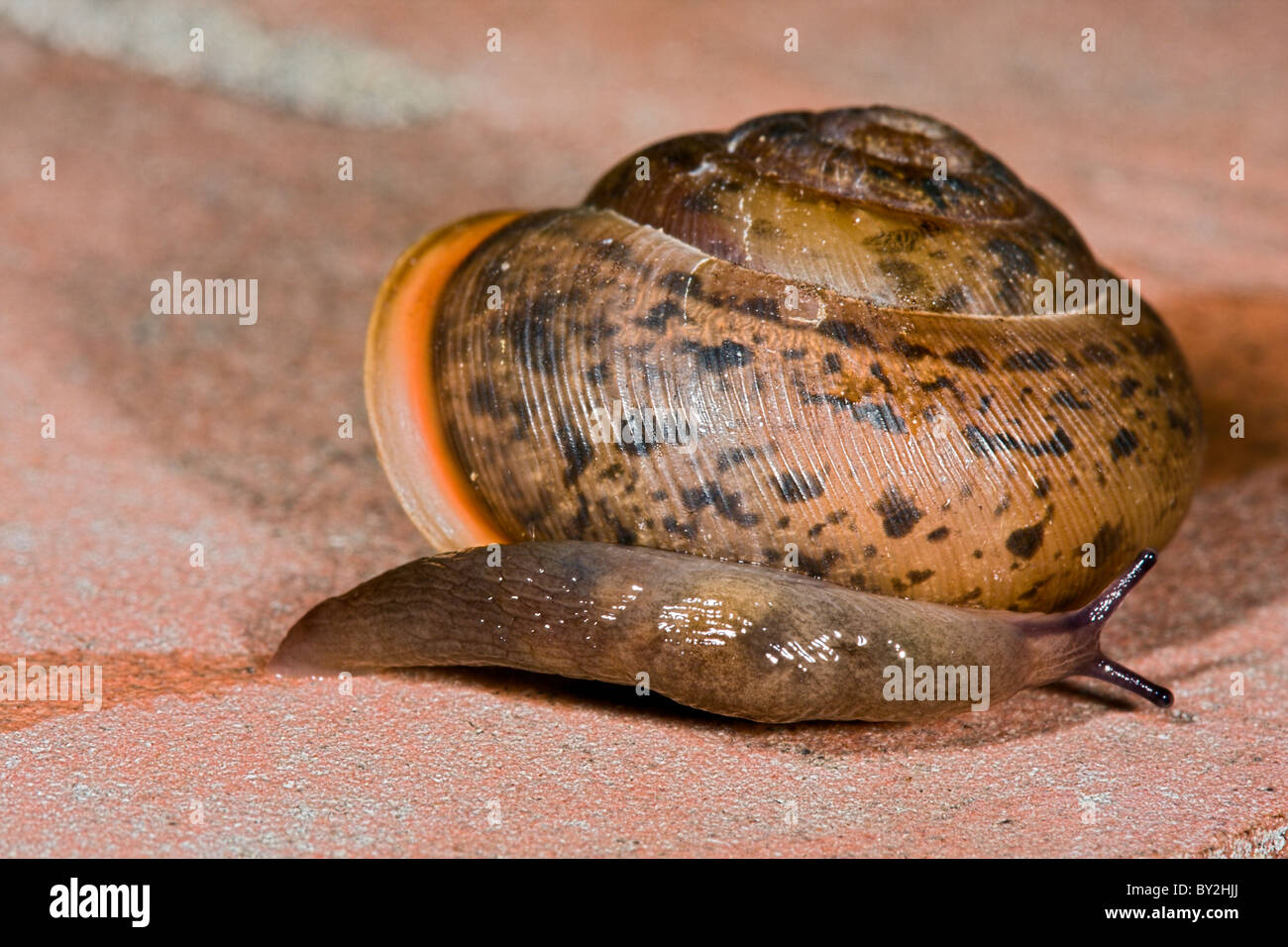 Common brown garden snail crawling on a on brick surface with slug - Stock Image