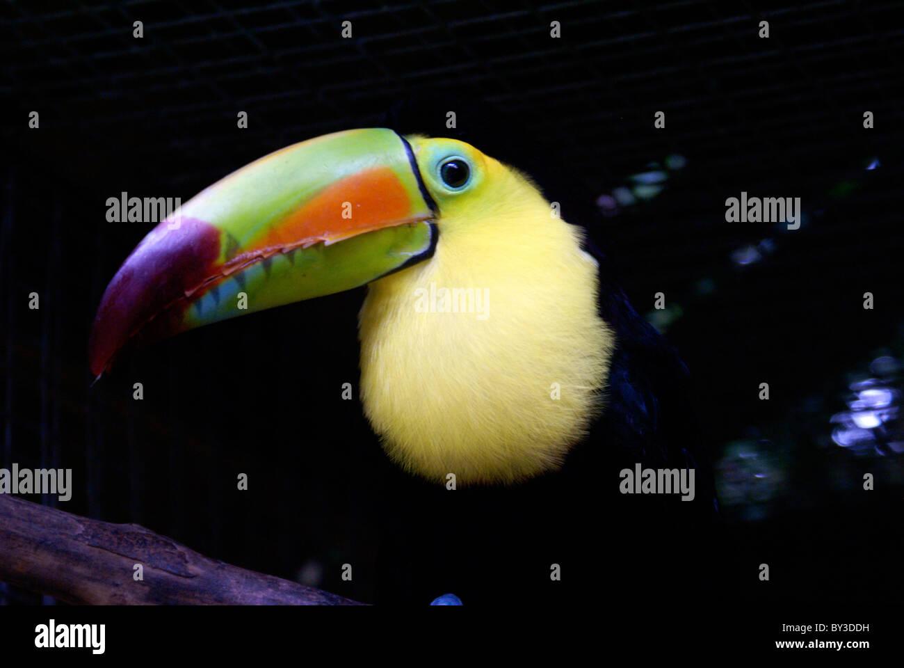 kell-billed-toucan-ramphastos-sulfuratus