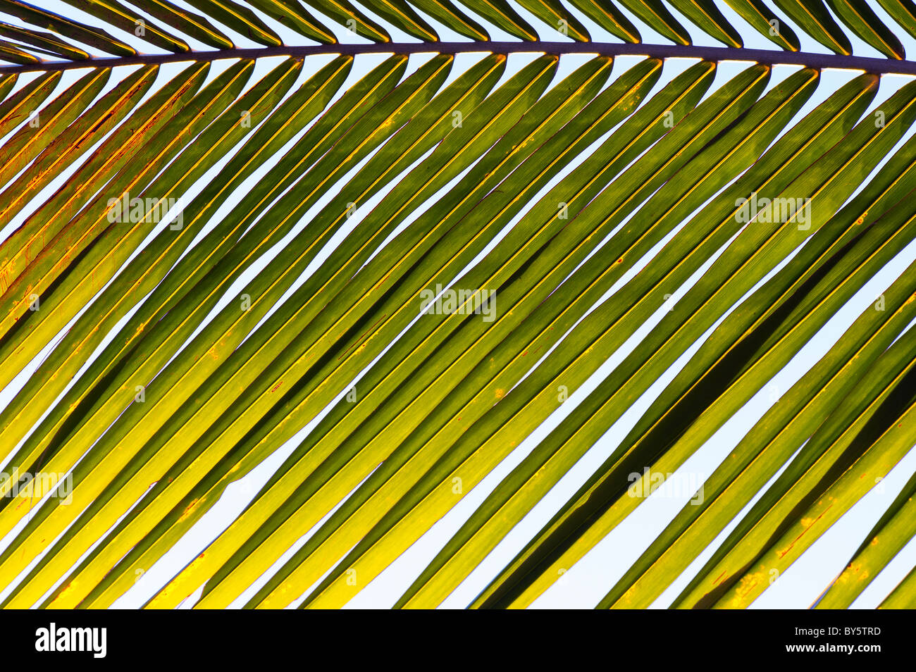 Coconut palm tree frond pattern. India - Stock Image