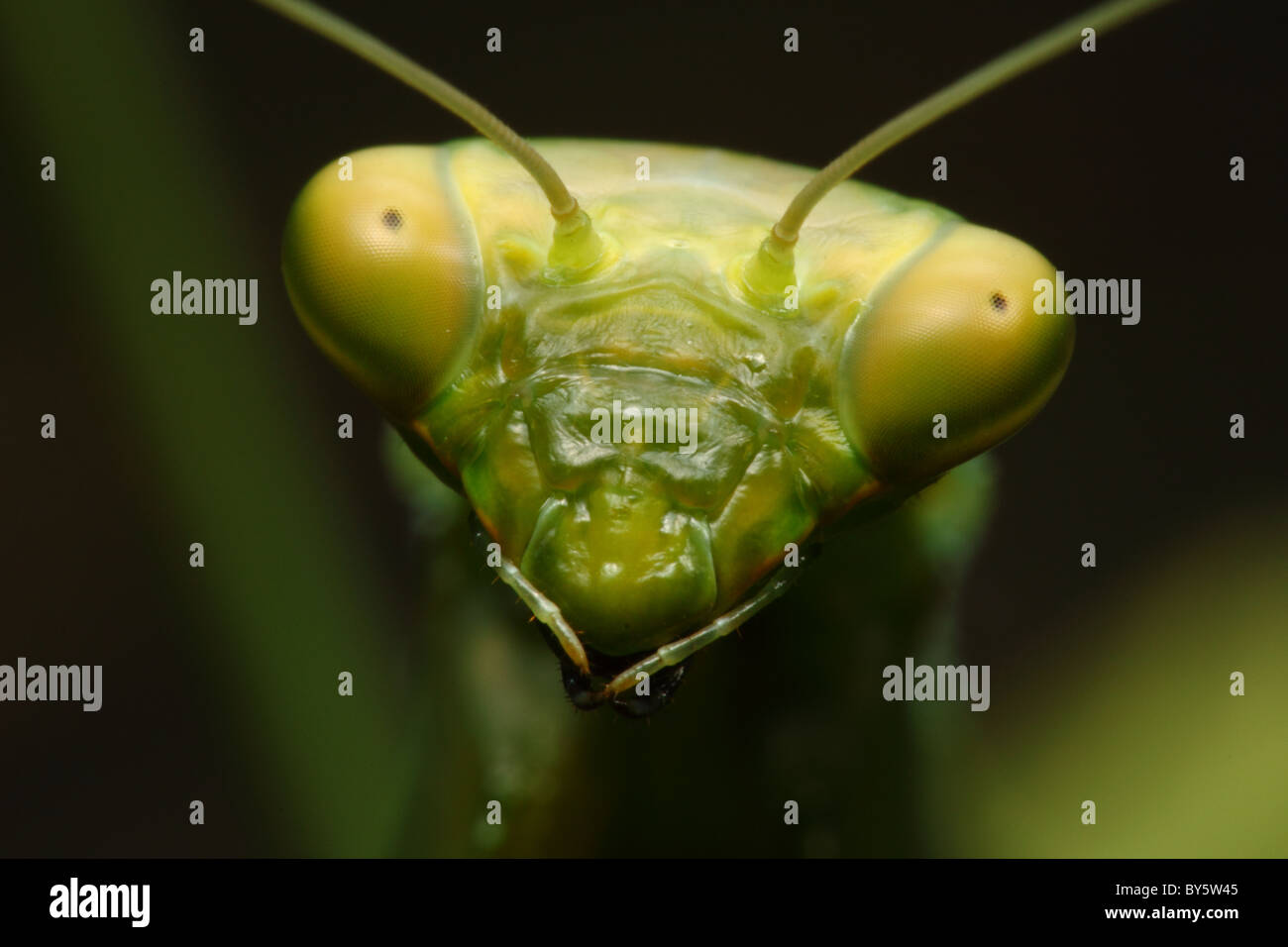 Portrait of a praying mantis at 2x sensor size - Stock Image