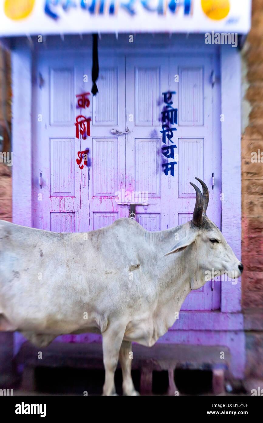 Cow in doorway, Jodhpur, Rajasthan, India - Stock Image
