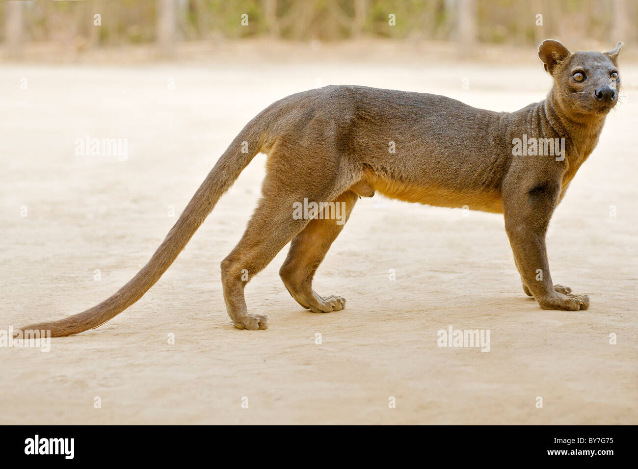 an endangered fossa cryptoprocta ferox one of the few madagascan