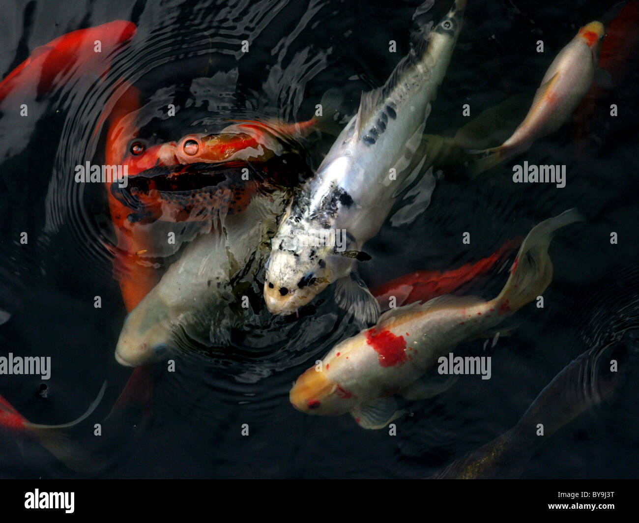 Colourful koi carp swimming together. - Stock Image
