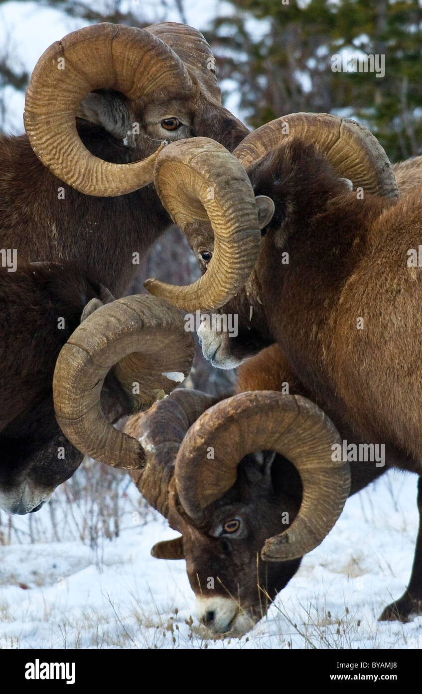A herd of adult male Bighorn Sheep - Stock Image