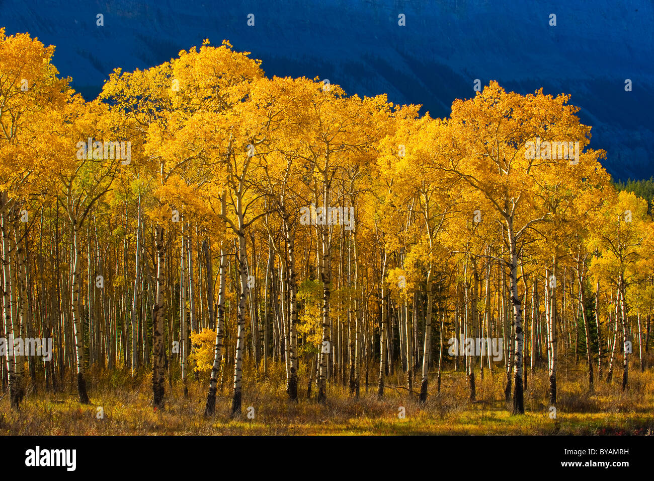 A stand of aspen trees with leaves turned the golden yellow of autumn - Stock Image