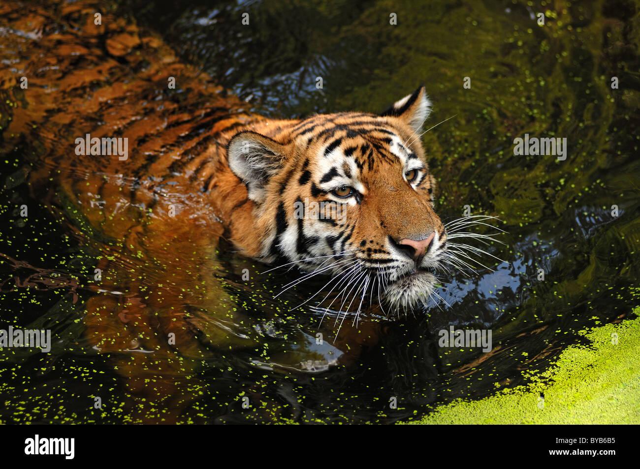 Siberian Tiger (Panthera tigris altaica), swimming in a moat, Tiergarten Nuernberg, Nuremburg Zoo, Nuremburg, Middle - Stock Image