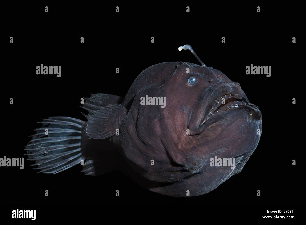 deep sea anglerfish or black seadevil, Diceratias pileatus, Hawaii - Stock Image