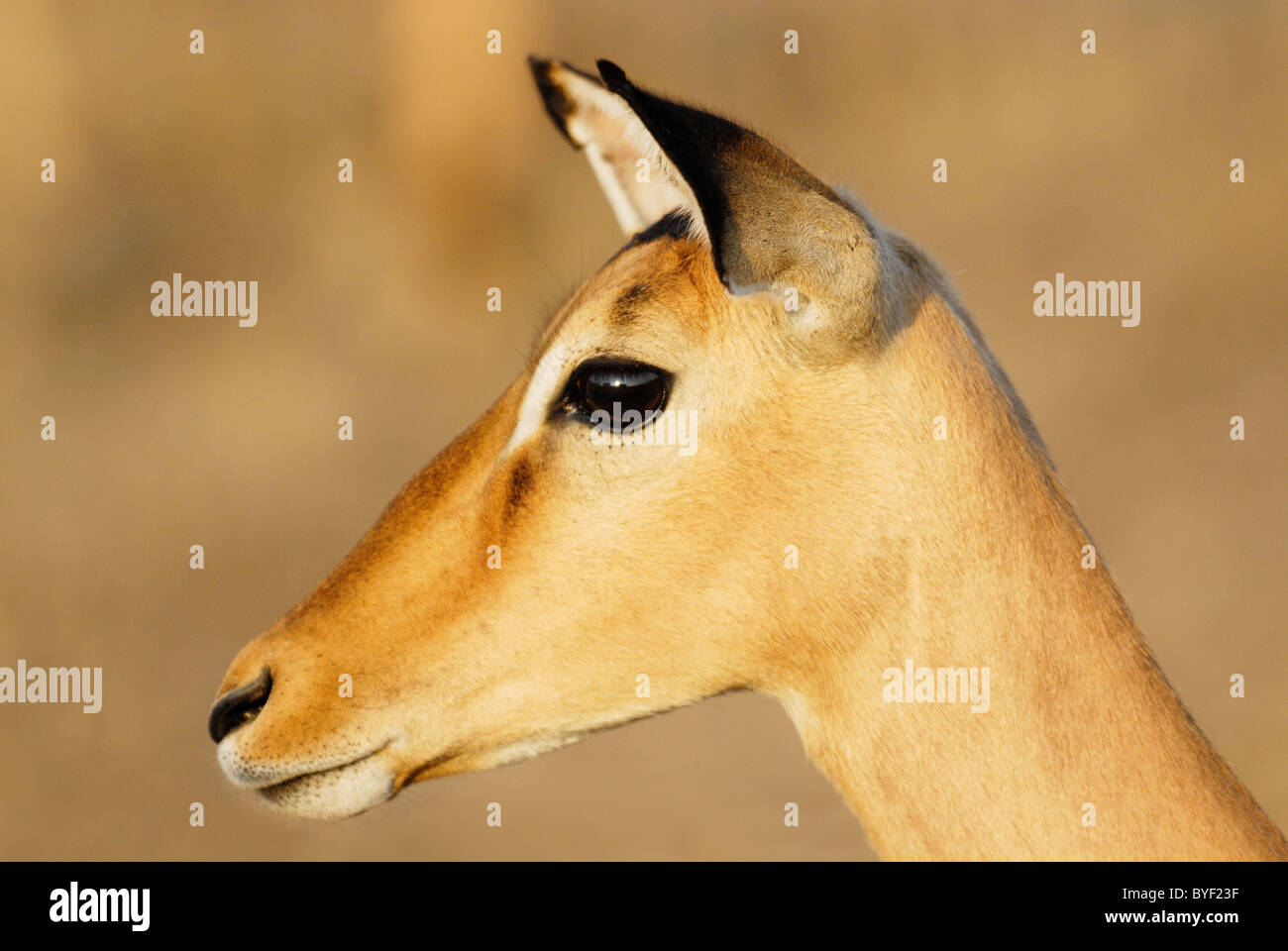 Female Impala in Kruger National Park, South Africa - Stock Image