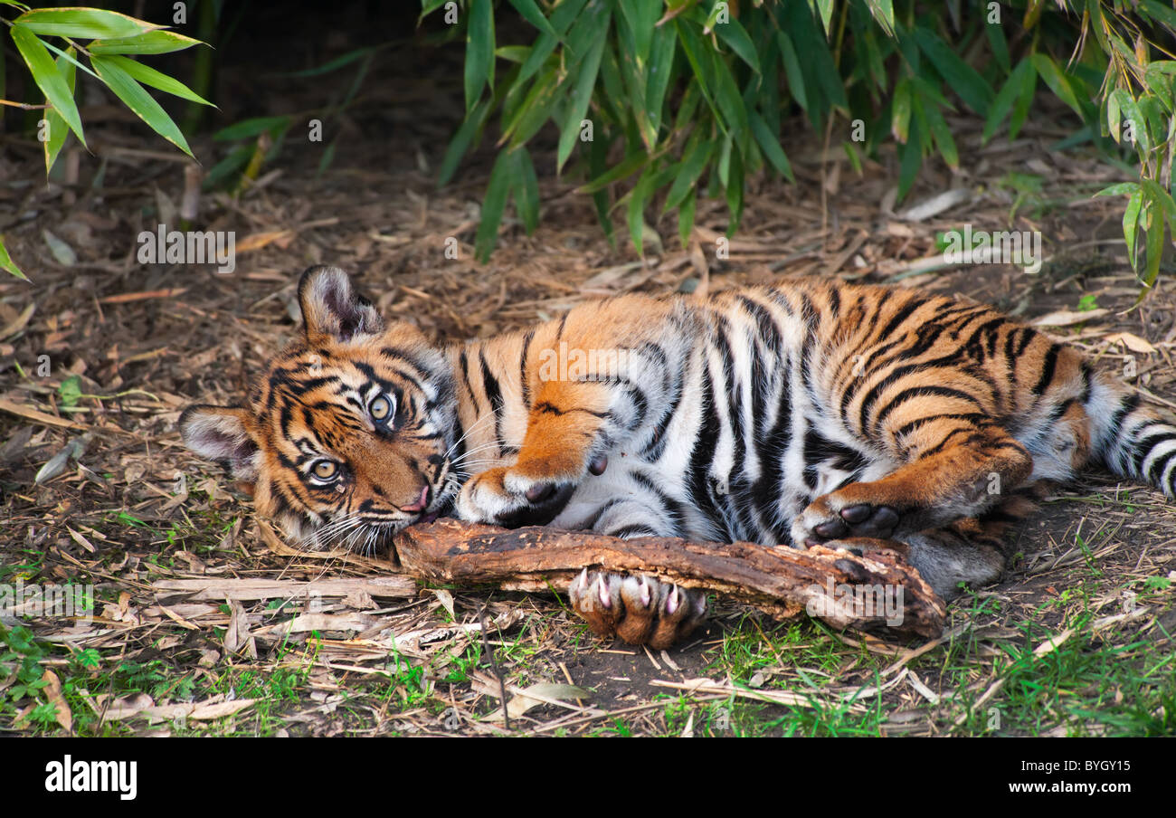 Cute sumatran tiger cub playing on the forest floor - Stock Image