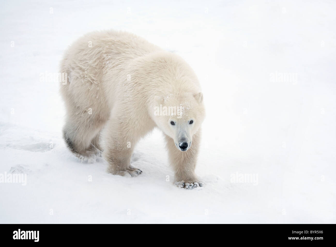 a lone polar bear (ursus maritimus) walks up and stares into the camera with a curious look; churchill, manitoba, - Stock Image
