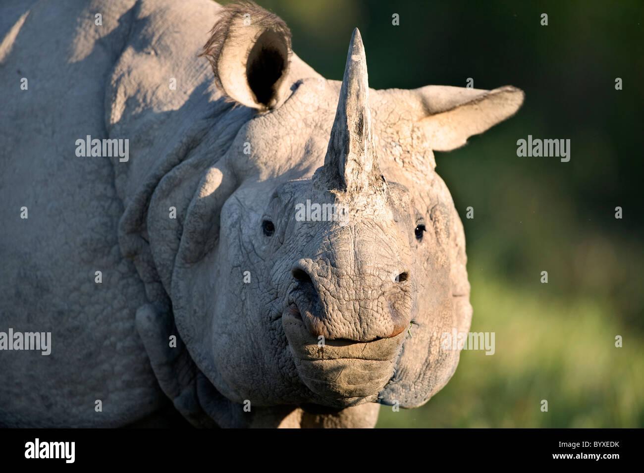 Indian Rhino Rhinoceros unicornis Kaziranga Assam - Stock Image