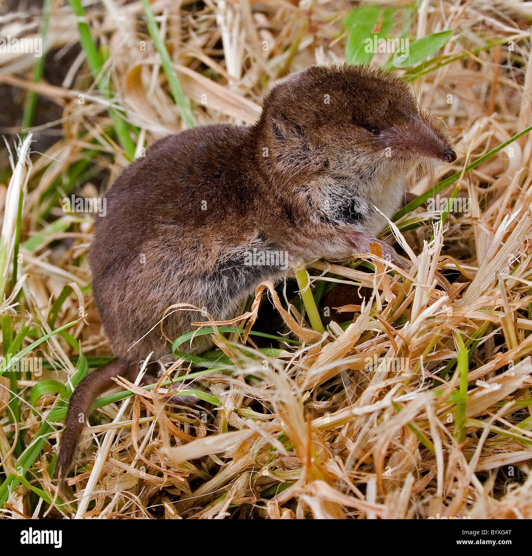 Common or eurasian shrew sorex araneus Devon UK - Stock Image