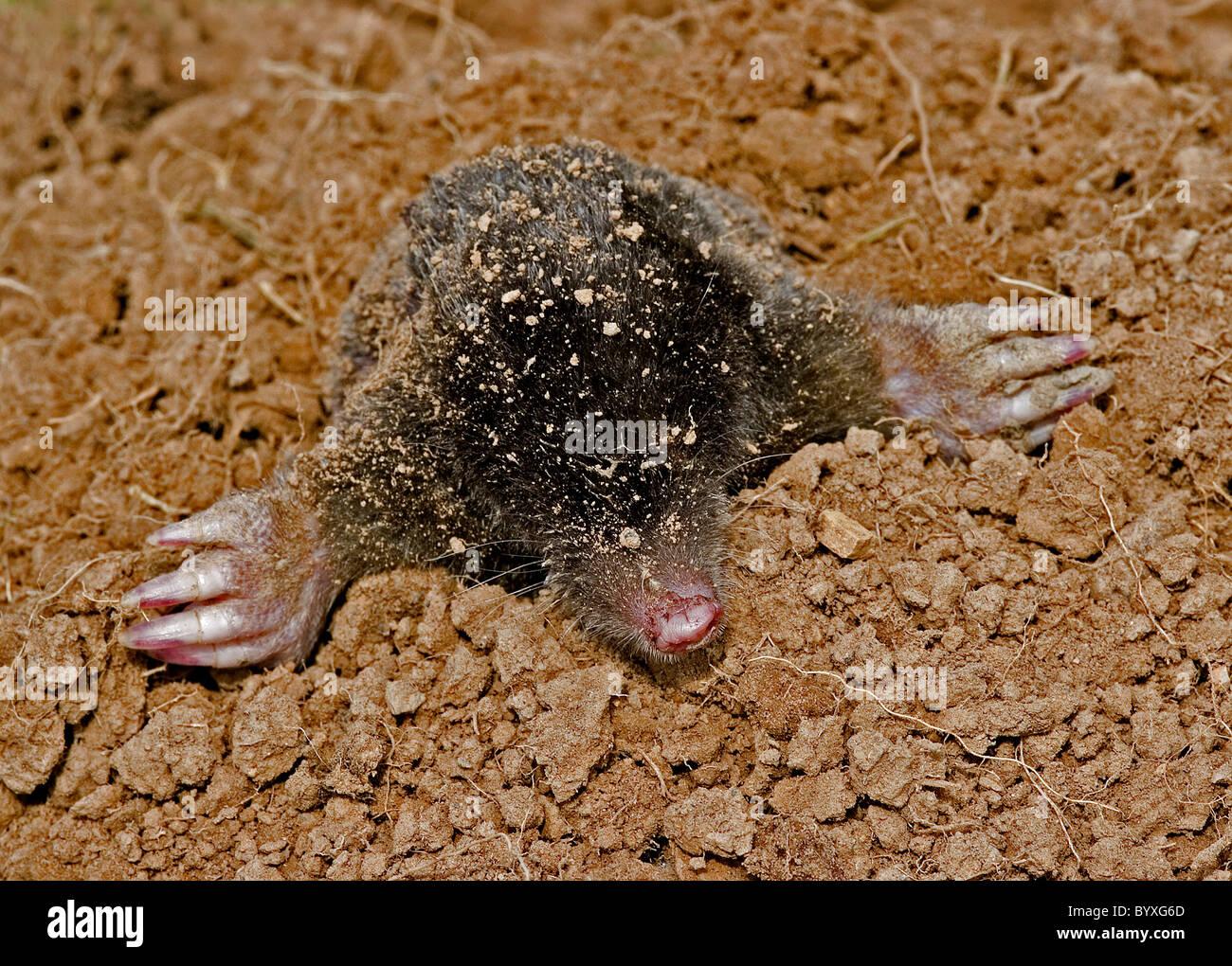 European mole talpa europaea Devon UK - Stock Image
