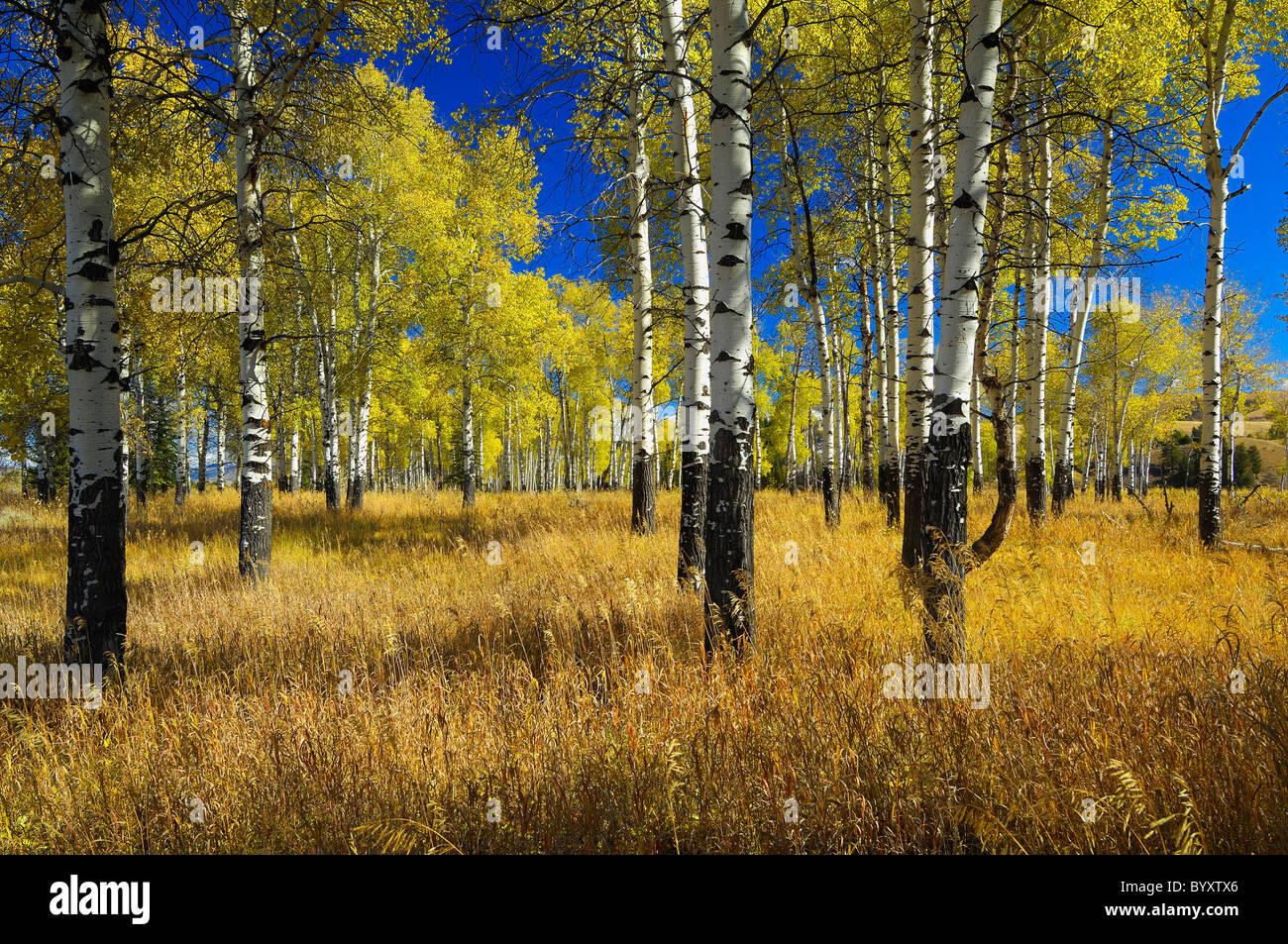Grand Teton Aspens - Stock Image