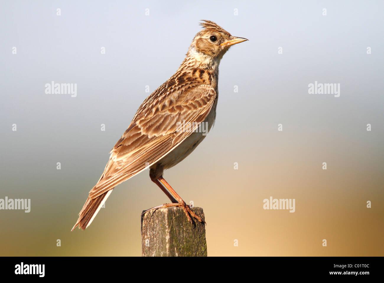 Skylark (Alauda arvensis) sitting on a fence post - Stock Image
