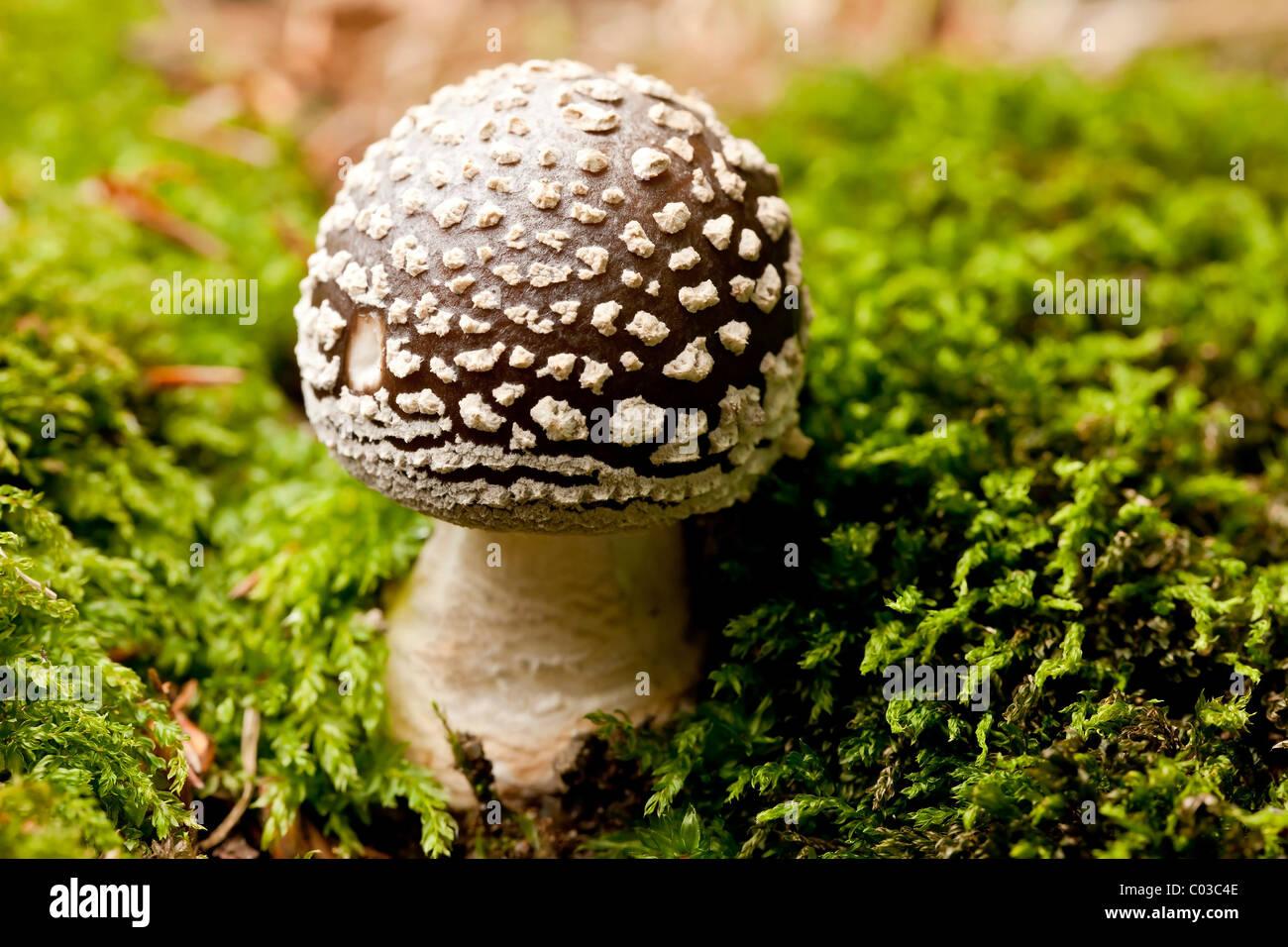 Panther cap mushroom (Amanita pantherina) Stock Photo