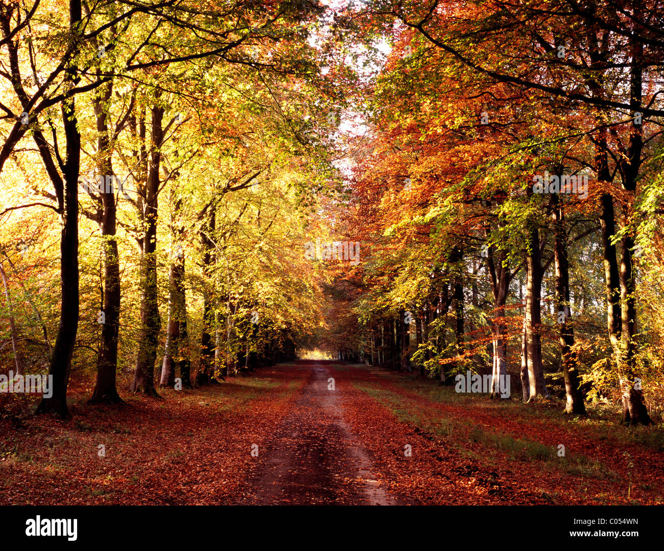 The long avenue of beech trees known as First Broad Drive running through Grovely Wood in Wiltshire, England. Stock Photo