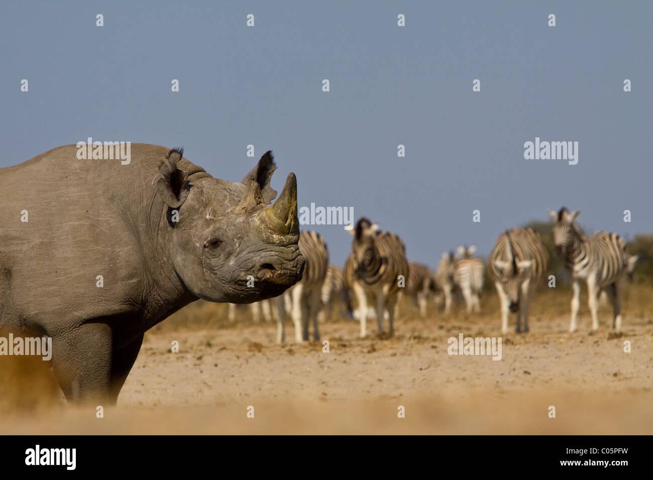 Black Rhino and Zebra, Etosha National Park, Namibia. - Stock Image