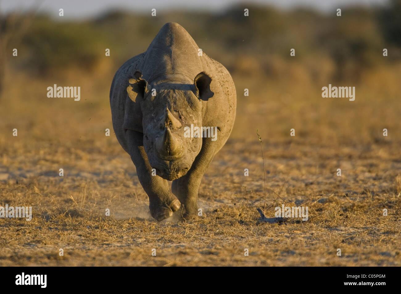 Black Rhino, Etosha National Park, Namibia. - Stock Image